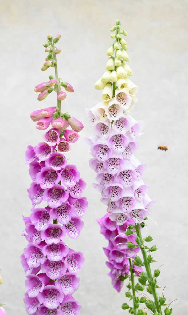 Foxgloves image for Tracey Griffin National Demonstrators Webpage