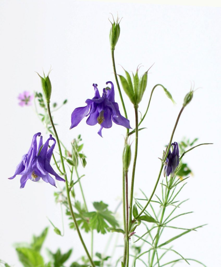 Aquilegia-flowers-decorating-about-tracey-of-Tracey-Griffin-flowers